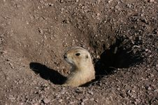 Free Prairie Dog Stock Image - 8980061