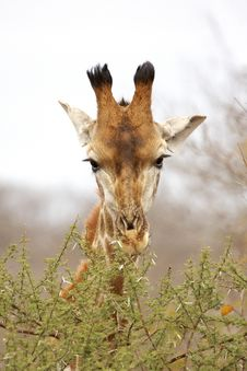 Free Giraffe Browsing On A Thorn Tree Royalty Free Stock Image - 8980506