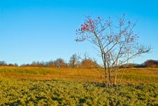 Free Dogrose Bush With Red Hips On Yellow Autumn Meadow Stock Image - 8980721
