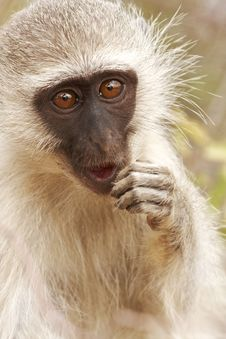 Free Pensive Monkey Stock Photography - 8981162
