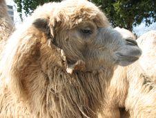 Free Camel Head Stock Image - 8981381