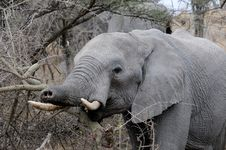 Elephant Trunk Call Royalty Free Stock Photography