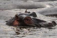 Free Hippo Lying In The Pool Royalty Free Stock Image - 8982956