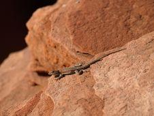 Free Lizard Royalty Free Stock Photo - 8983095
