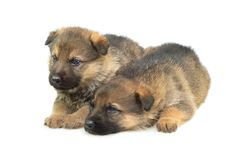 Free Germany Sheep-dogs Puppys Stock Image - 8983301