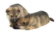 Free Germany Sheep-dogs Puppys Royalty Free Stock Photos - 8983308