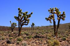 Free Joshua Trees In The Desert Royalty Free Stock Images - 8983639