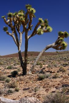 Free Joshua Trees In The Desert Royalty Free Stock Photo - 8983645