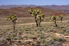 Free Joshua Trees In The Desert Stock Photography - 8983652
