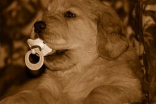 Free Pacified Pup Royalty Free Stock Photography - 8983997