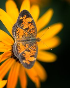 Free Butterfly On Yellow Flower Stock Photo - 8985780