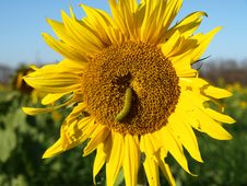 Free Sunflower With A Caterpillar Royalty Free Stock Images - 8986159
