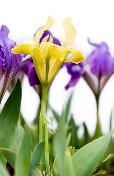 Free Yellow Iris Stock Images - 8986534