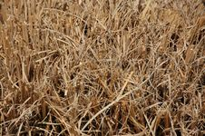 Free Golden Dry Grass Stock Photos - 8986973