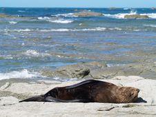 Free Australasian Fur Seals (Arctocephalus Forsteri) Stock Image - 8987061