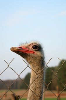 Free Ostriches Farm Stock Images - 8987114