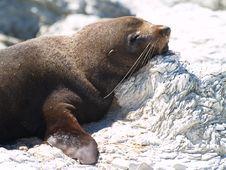 Free Australasian Fur Seal (Arctocephalus Forsteri) Stock Photography - 8987252