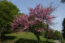 Free Lilac Tree Stock Photos - 8987623