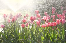 Free Tulips Royalty Free Stock Photos - 8988388