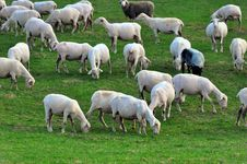 Free Sheep Royalty Free Stock Photo - 8989155