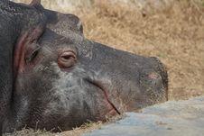 Free Hippopotamus Royalty Free Stock Photos - 8989768