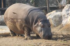 Free Hippopotamus Stock Photos - 8989843