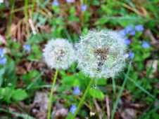 Free Dandelion Heads In Grasses Royalty Free Stock Photo - 89807185