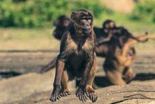 Free Fauna, Mammal, Primate, New World Monkey Stock Photography - 89871712