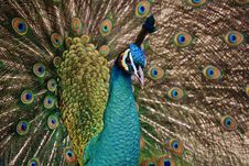 Free Peafowl, Feather, Galliformes, Fauna Royalty Free Stock Image - 89871936