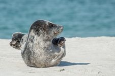 Free Harbor Seal, Seals, Fauna, Terrestrial Animal Stock Photos - 89872033