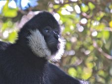 Free Male Siamang Monkey Close Up Stock Photo - 8991340