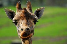 Free Cute Giraffe Stock Photos - 8992143
