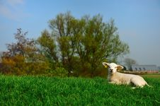 Free Cute Lamb In Spring Royalty Free Stock Photography - 8992357