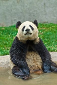 Free Giant Panda Royalty Free Stock Photo - 8993115