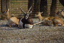 Free Antelope Deer-goat Stock Photos - 8993383
