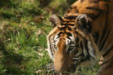 Free Bengal Tiger Royalty Free Stock Image - 8994456