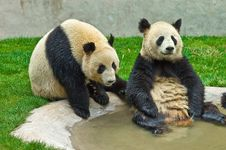Free Giant Panda Royalty Free Stock Photo - 8994865