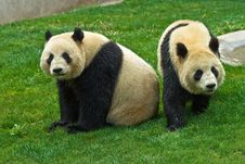 Free Giant Panda Stock Photos - 8994903