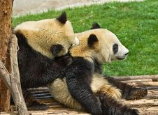 Free Giant Panda Royalty Free Stock Image - 8995406