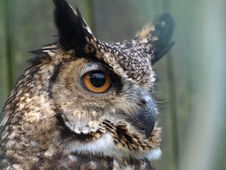 Free Bengal Owl Stock Photo - 8995690