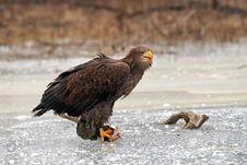 Free Eagle On Ice Royalty Free Stock Photo - 8996485