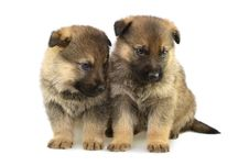Free Germany Sheep-dogs Puppys Royalty Free Stock Photo - 8996585