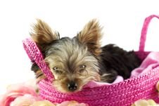 Free Yorkshire Terrier Puppy In Basket Stock Photography - 8999332