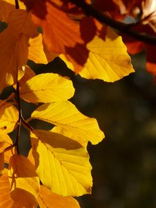 Free Yellow, Leaf, Deciduous, Autumn Royalty Free Stock Photos - 89902658