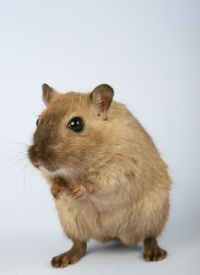 Free Gerbil, Fauna, Mouse, Mammal Stock Photos - 89903643