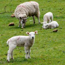 Free Sheep, Pasture, Grassland, Grazing Royalty Free Stock Photos - 89904158