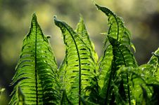Free Vegetation, Plant, Ostrich Fern, Leaf Royalty Free Stock Photography - 89904297