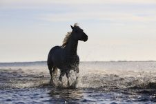 Free Horse, Horse Like Mammal, Stallion, Mustang Horse Royalty Free Stock Images - 89904349