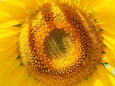 Free Sunflower, Flower, Yellow, Sunflower Seed Royalty Free Stock Photo - 89914285
