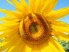 Free Sunflower, Flower, Yellow, Sunflower Seed Royalty Free Stock Photo - 89914455